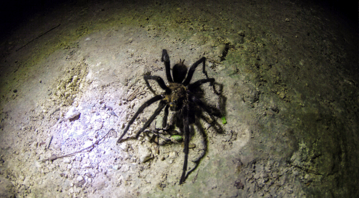 A Tarantula crosses our path on the way to the caves.