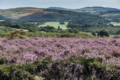 Walking amidst the Heather