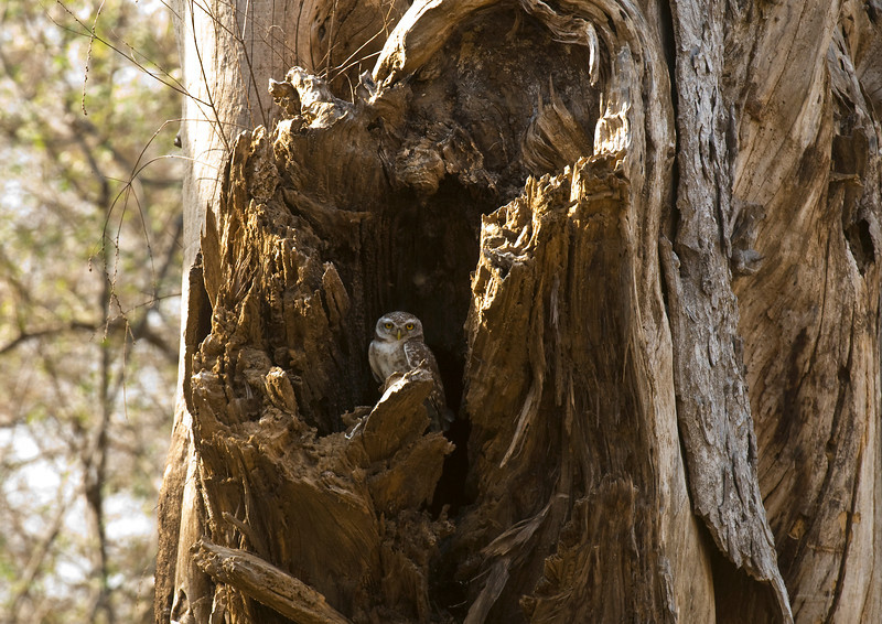 "Owl in Tree by Steve Czwortek - Fantastic composition and texture. Nikon D300/400mm. <a href=""http://stevecz.smugmug.com/"">http://stevecz.smugmug.com/</a><br /> Ranthambhore National Park, Rajastan, India, last Easter"