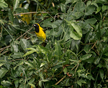 Yellolw-backed Oriole