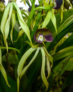 Black Orchid, the national flower of Belize