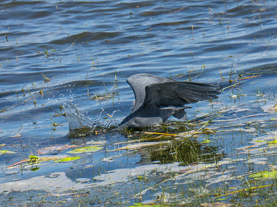 Little blue heron fishing