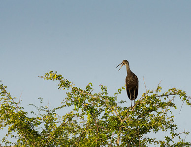 Call of the Limpkin
