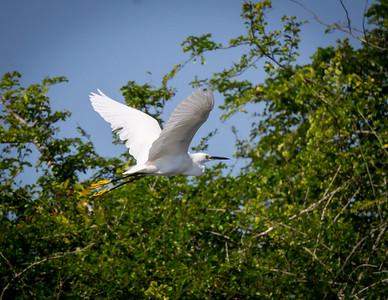 Snowy Egret fligth