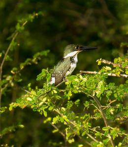 Green Kingfisher female perched