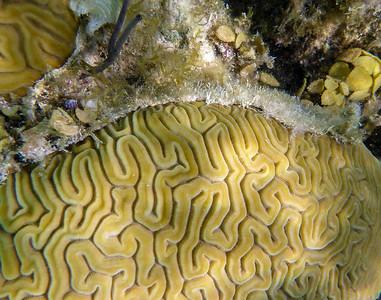 brain coral detail.
