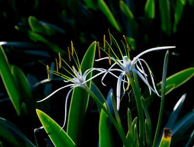 White-flowered spider lily