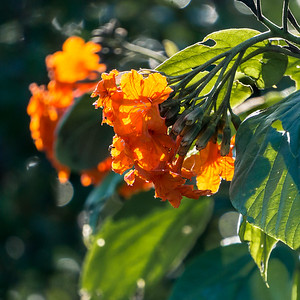 Orange-flowered zircote