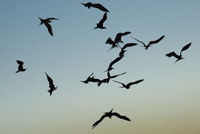 Frigate Birds chasing scraps at dusk
