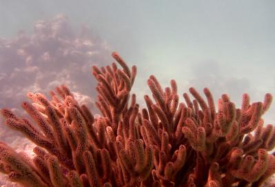 Coral, Octopus Garden