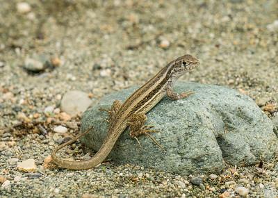 Lizard Cajobabo.ARW