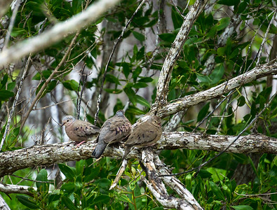Common ground dove Playa Costa Verde.ARW