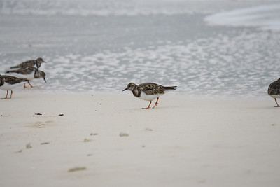 Ruddy turnstone Playa Costa Verde-2.ARW
