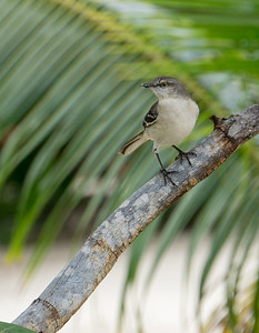 Northern Mockingbird Playa Costa Verde.ARW