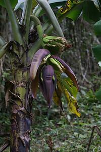 banana flower.ARW