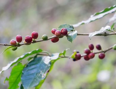 coffee berries.ARW