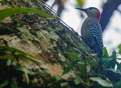 West Indian Woodpecker.ARW