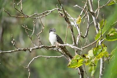 Giant Kingbird.ARW