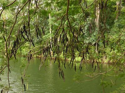 Pods of Flamboyant tree