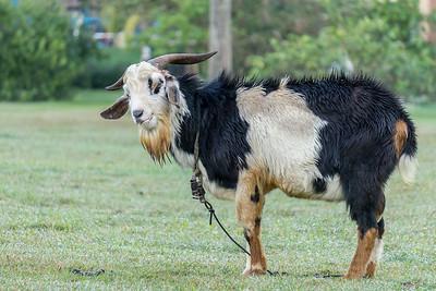 goat at Villa la Granjita.ARW