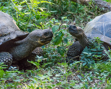 Griant tortoise encounter