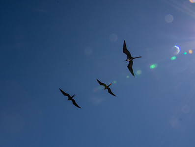 Frigate birds in sunburst