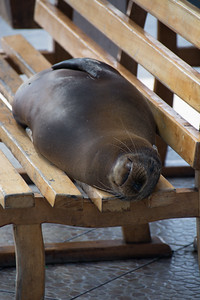 Galapagos sea lion vagrant