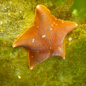 Bat Star Burnaby Narrows
