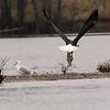 Bald Eagle and Fish Head