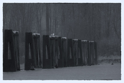 Pilings and Gull, Harrsion River
