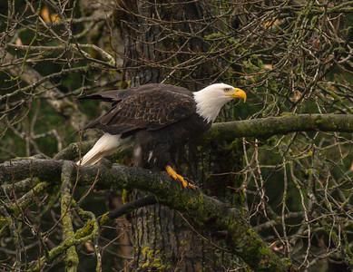 Bald Eagle perched 1