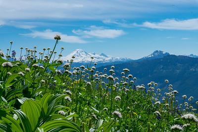 Valerian meadow with Mount Baker