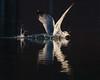 Ring-billed Gull splashdown near sundown.
