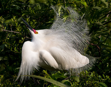 Snowy Egret on full display