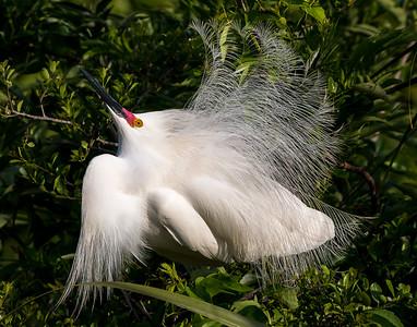 Snowy Egret on full display