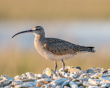 Whimbrel standing on sea shells