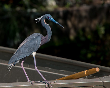 Tricolored Egret trying to figure out the oar.