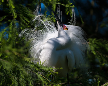 Snowy Egret displaying in the shade.