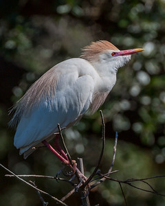 Cattle Egret in some interesting light.