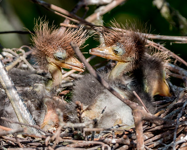 Baby Tricolored Herons