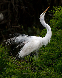 Great White Egret practicing its display moves
