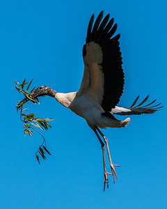 Wood Stork carrying his smallest load of the day