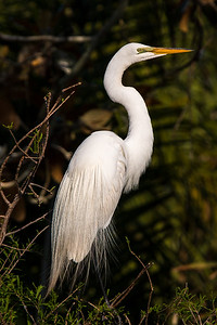 Great White Egret resting from the show.