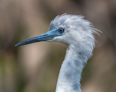 Juvenile Little Blue Heron showing off his baby blue eyes.