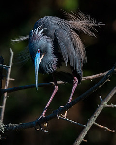 Tricolored Heron barely hanging on.