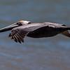 Brown Pelican trolling for food.