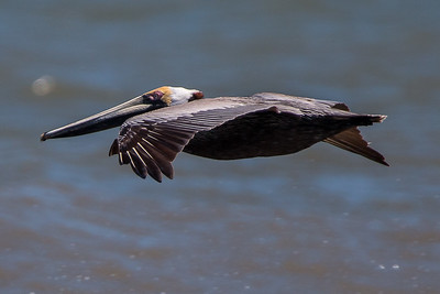 Brown Pelican trolling for food.