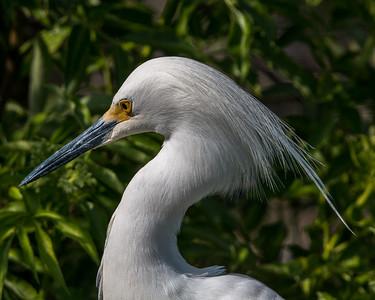 Snowy Egret in sharp detail.