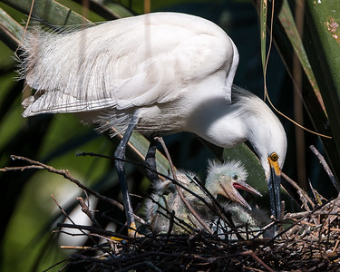 Snowy Egret teaching baby how to tend a nest.