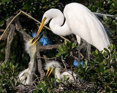 Great White Egret feeding its young.